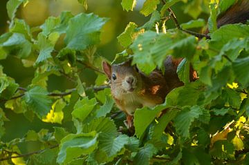 Nieuwsgierige eekhoorn  van Matthias Erkelens