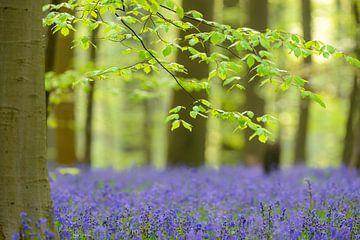 Buchebaum im Frühjahr in einem Bluebellwald von Sjoerd van der Wal