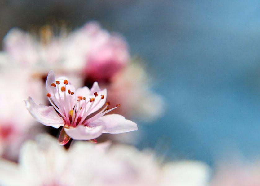 blossom van Alex Hiemstra