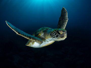 Grüne Meeresschildkröte auf einem Tauchgang von René Weterings