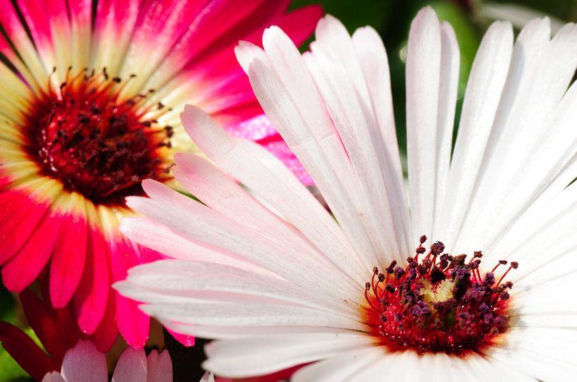 Macro van Spaanse margriet in roze en wit van Thomas Poots