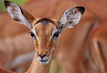 Impala - Africa wildlife van W. Woyke