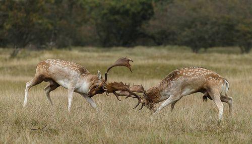 Damhert gevecht
