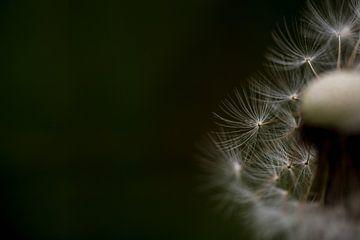 detail of a full-grown dandelion  sur