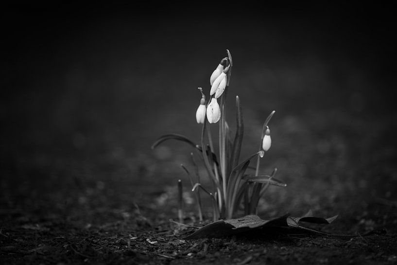 Voorjaarssneeuwklokjes op parkpad van Robert Ruidl