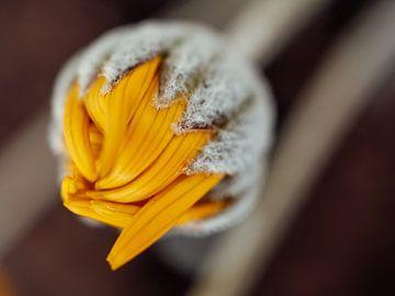 Geschlossene gelbe Blüte von Lara Groenhof