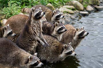 Waschbären von Evi Willemsen