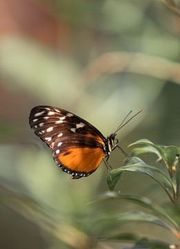 Oranje bruine vlinder van Arnold Loorbach