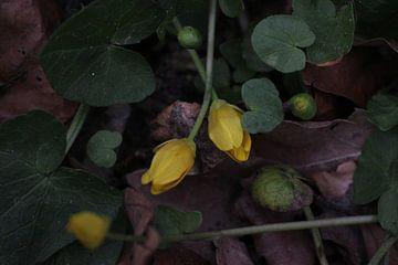 gelbe, kriechende Blüten. von Aart van Maren