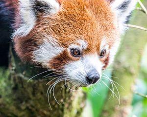 Roter Panda/Kleiner Panda