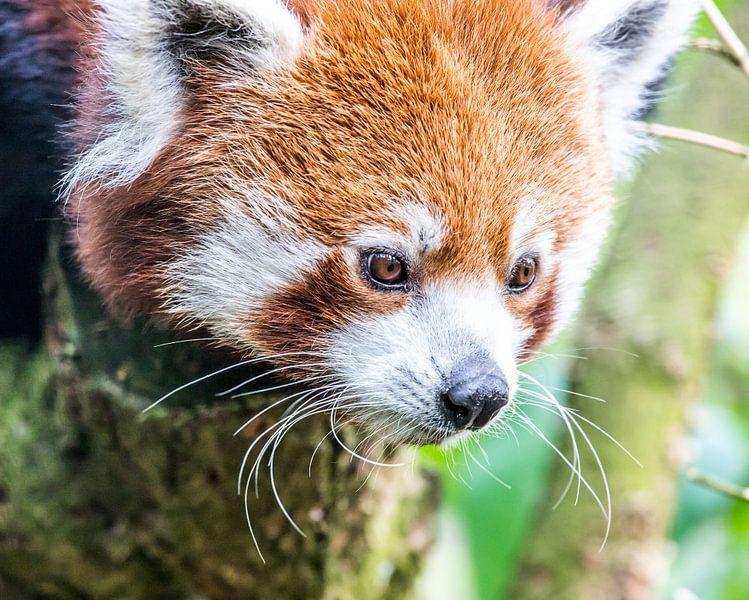 Roter Panda/Kleiner Panda von de buurtfotograaf Leontien