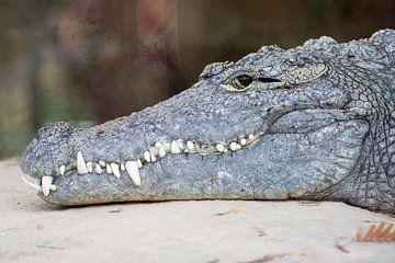 Nahaufnahme des Krokodils von Joost Adriaanse
