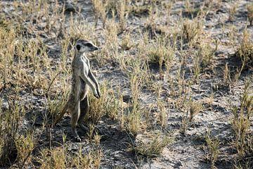 Portret van Suricatta van Meerkat Suricata, Afrikaans inheems dier, kleine carnivoor die tot de mang van