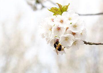 Hommel in de Voorjaarsbloesem von Mevr Theelepel