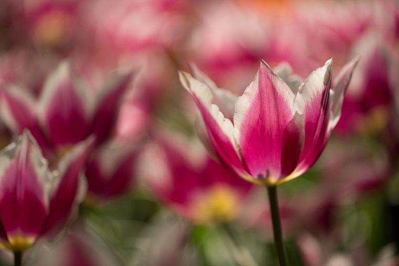 roze tulp van Jovas Fotografie