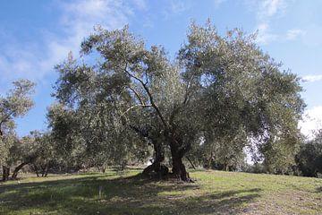 Twee olijfbomen onder de blauwe lucht van jan katuin