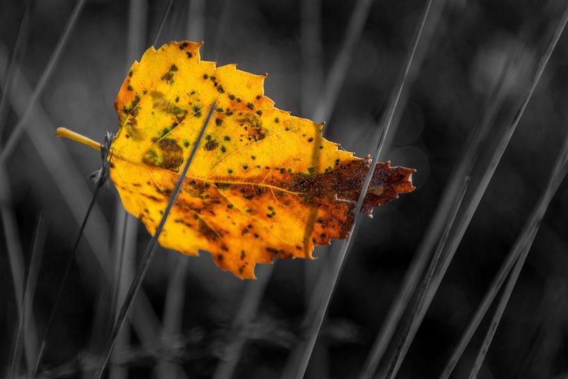 Berkenblad gevangen in gras van Muriel Dorland