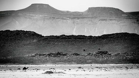 Dromedaris in de woestijn