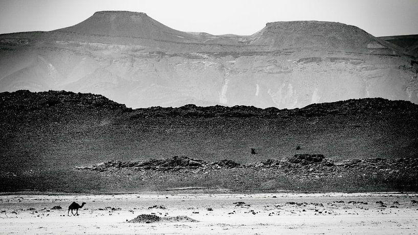 Dromedaris in de woestijn van Sam Mannaerts Natuurfotografie