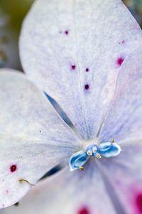 Bloem, blauw paars van