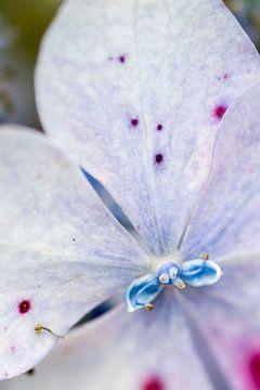 Bloem, blauw paars van Wouter Sikkema