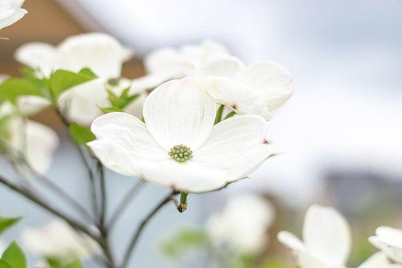 Een witte kroon