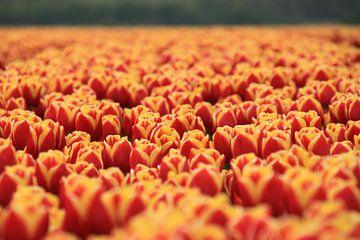 Tulipfield van Marcel van Rijn