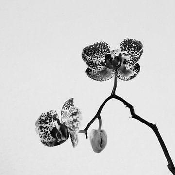 Einsame Orchidee | Schwarz-Weiß-Foto von Diana van Neck Photography