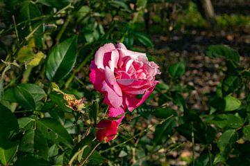 Die Rose von AH-Fotografie