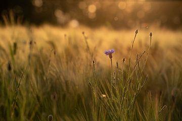 Korenbloem in veld van Susanne Alleman