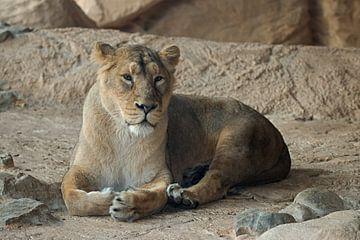 Die Löwin ruht sich aus von W J Kok