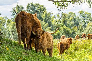 Schotse hooglanders met kalfje van Leo Kramp Fotografie