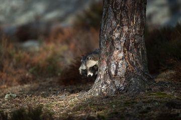 Marderhund ( Nyctereutes procyonoides ) im Herbst, steht versteckt hinter einem Baum und schaut, inv von wunderbare Erde