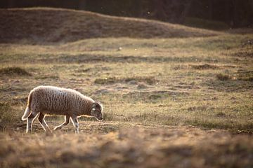 Un mouton solitaire marchant dans la prairie sur Steven Marinus
