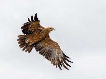 Een Arend vliegend door de wildernis van Zuid-Afrika van Jordi Woerts