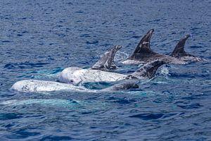 Grijze dolfijnen (Risso's dolphin)