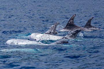 Grijze dolfijnen (Risso's dolphin) van Easycopters