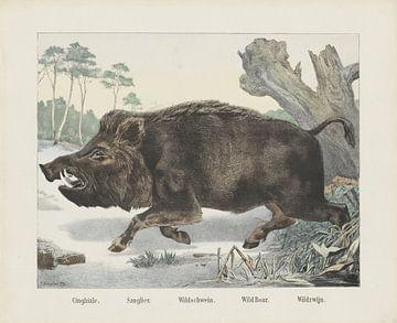Cinghiale. / Sanglier. / Wildschwein. / Keuler. / Wildschwein. / Wildschwein von R. Schulz, 1879