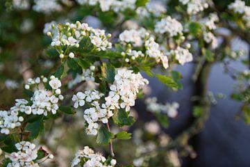 Meidoorn in bloei van