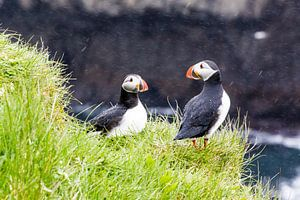 Puffins in the rain on Papey island in Iceland.