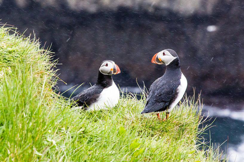 Papegaaiduikers in de regen op Papey eiland in IJsland van Anneke Hooijer