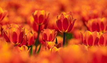 Oranje kleurenpracht von Karin Tebes