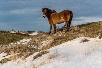 Poney Texel exmoor dans la neige