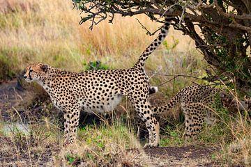 Cheetah markeert territorium van Peter Michel