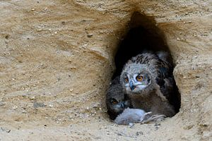 Eurasian Eagle Owls ( Bubo bubo ), young chicks, feeding on prey ( nutria ), wildlife, Europe.