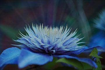 Clematite bleue lumineuse et rêveuse