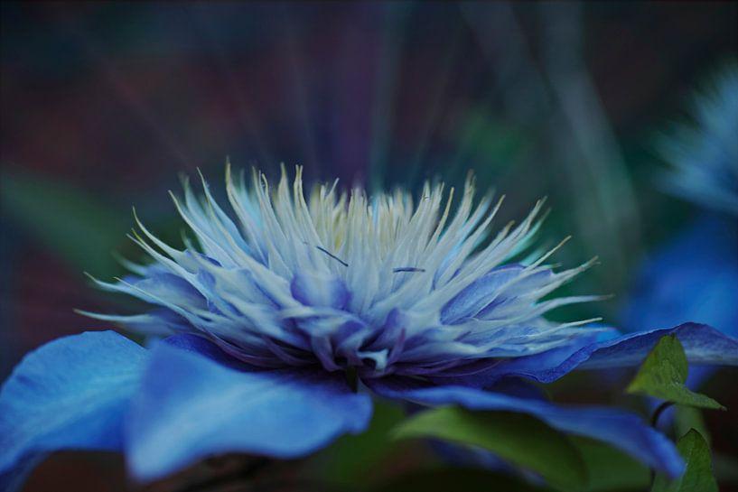 Stralende verdroomde blauwe Clematis van Wieland Teixeira