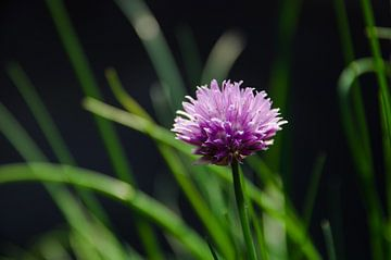 Schnittlauch in voller Blüte von