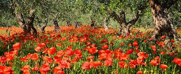 Mohnblumen unter Olivenbäumen im Panorama von iPics Photography
