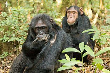 Schimpansen - Chimpanzee van Britta Kärcher